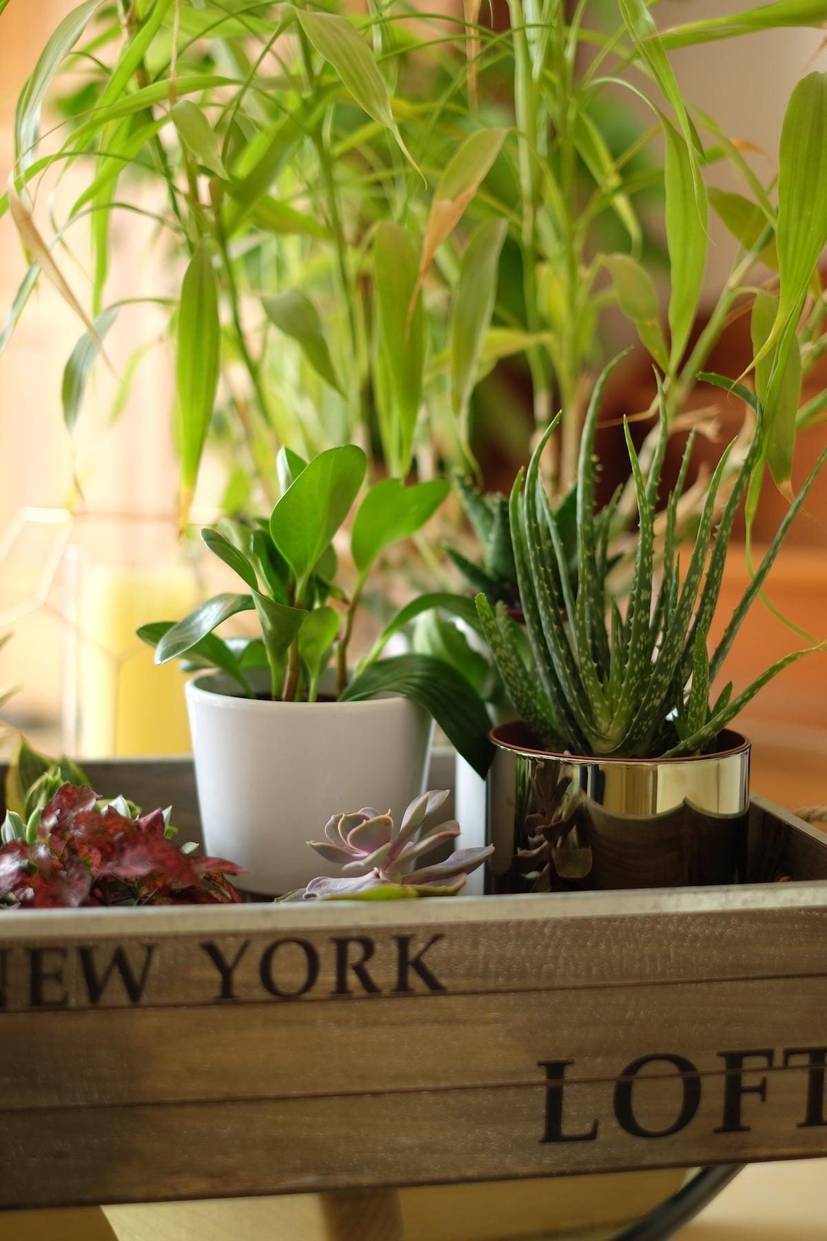 Succulentes-Décoration-interieur-plantes-